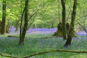 Bluebell Wood in the Chilterns
