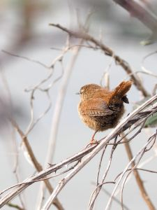 Wren-courtesy of Peter Willmott