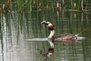 Great crested grebe trying to swallow fish  copyright Dennis furnell
