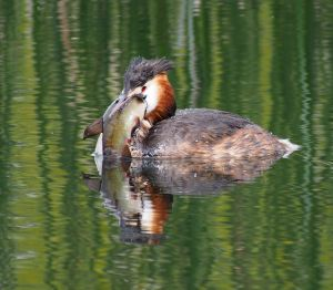 greatcrested grebe with fish