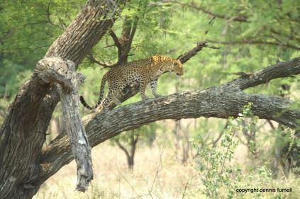 EA_5_Leopard