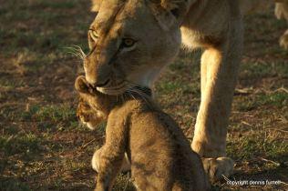 EA_Lioness & Cub