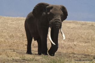 Elephant_Nogorongoro Crater