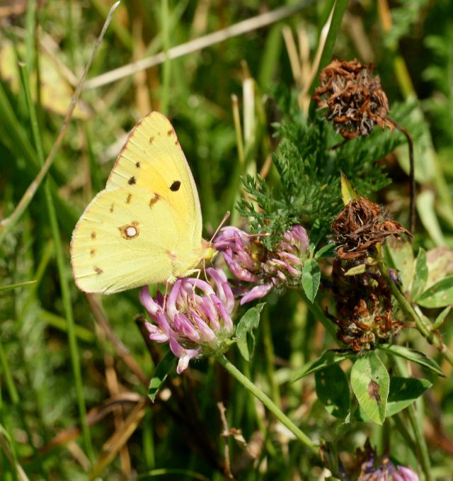 Butterfly_Clouded Yellow