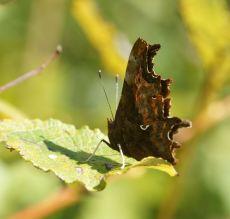 Butterfly_Comma