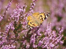 Butterfly_Painted Lady