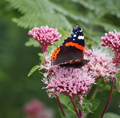 Butterfly_Red Admiral