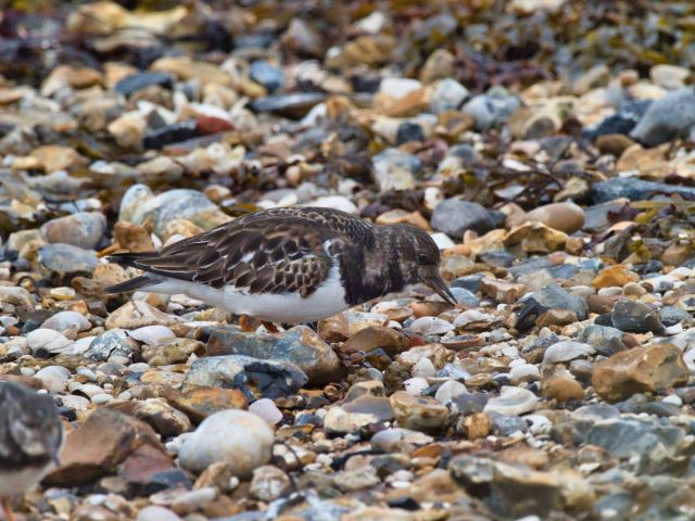 Turnstone_Blog_Hayling Island