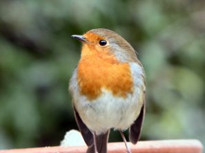 Birds_Garden Birds_Robin_Close up_2