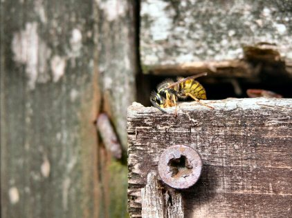 Blog Pictures Main Insects_Wasps_Common Wasp on Wood_3