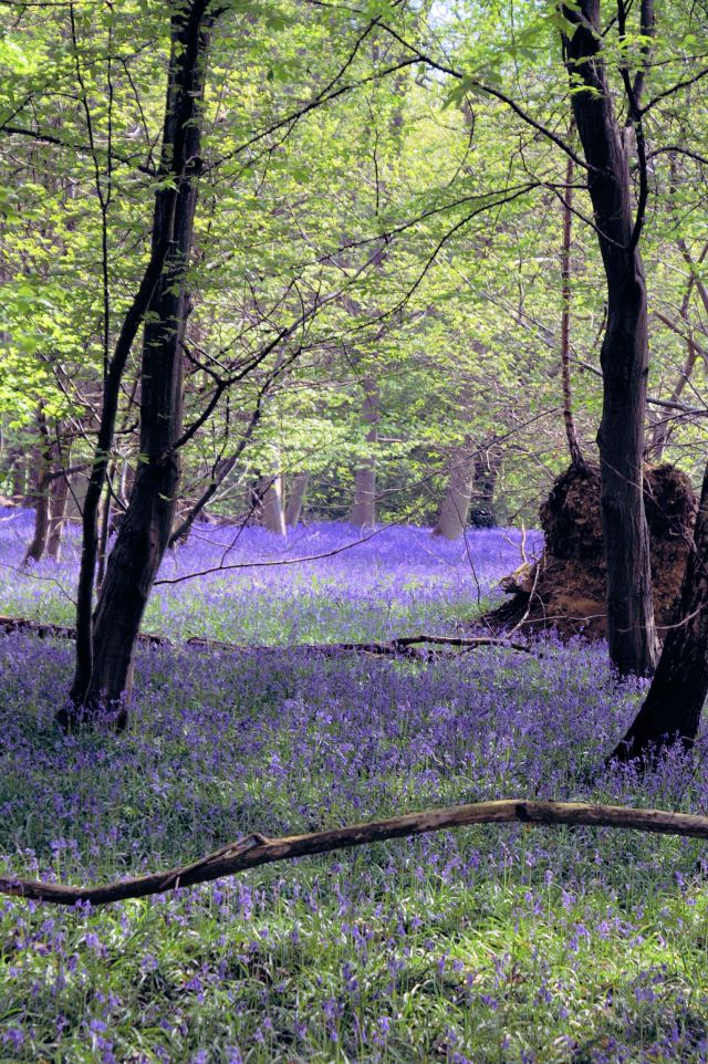 GCA_Pictures_ bluebell wood
